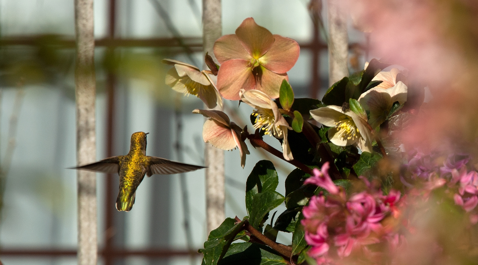 Anna's hummingbird and winter garden flowers, Canada